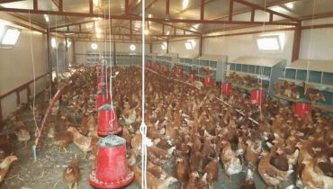 Tavuk Çiftliği Nasıl Açılır Nelere Dikkat Edilir?